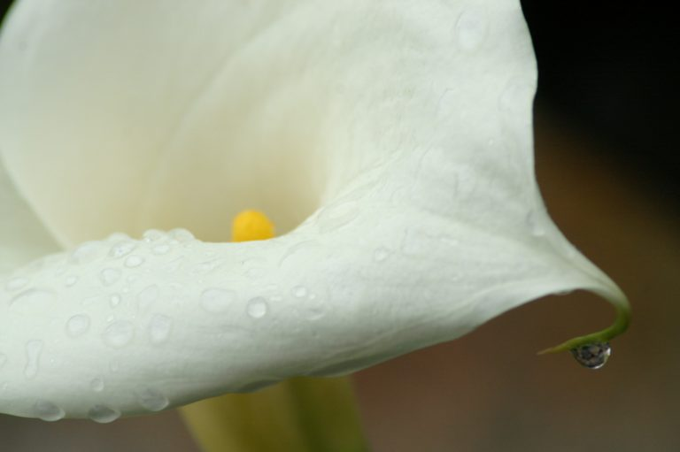 Calla Lily with Morning Due by CloseUp Images