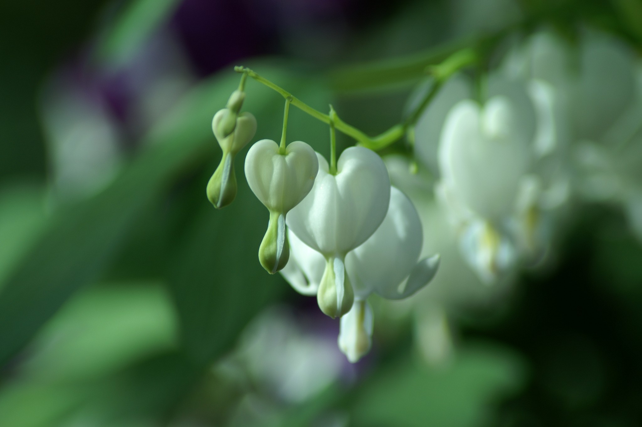 Close Up of White Bleeding Heart Flowers by CloseUp Images