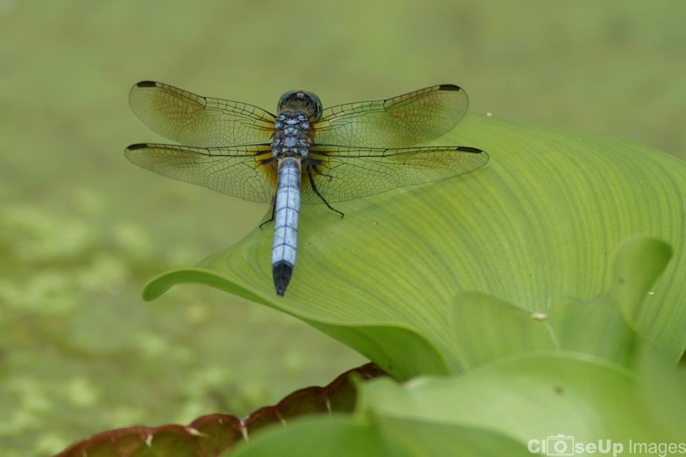 Blue Dasher Dragonfly Photo by CloseUp Images