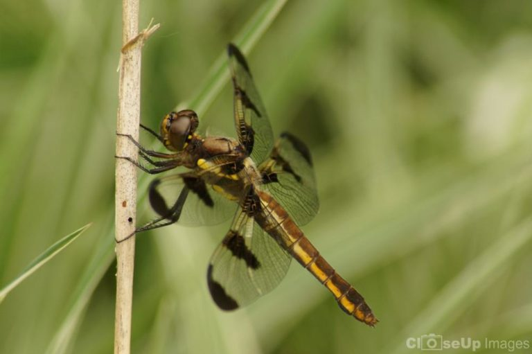 12 Spotted Skimmer Dragonfly taken by CloseUp Images