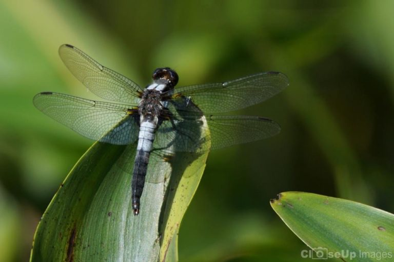 Chalk Fronted Corporal Dragonfly takedn by CloseUp Images