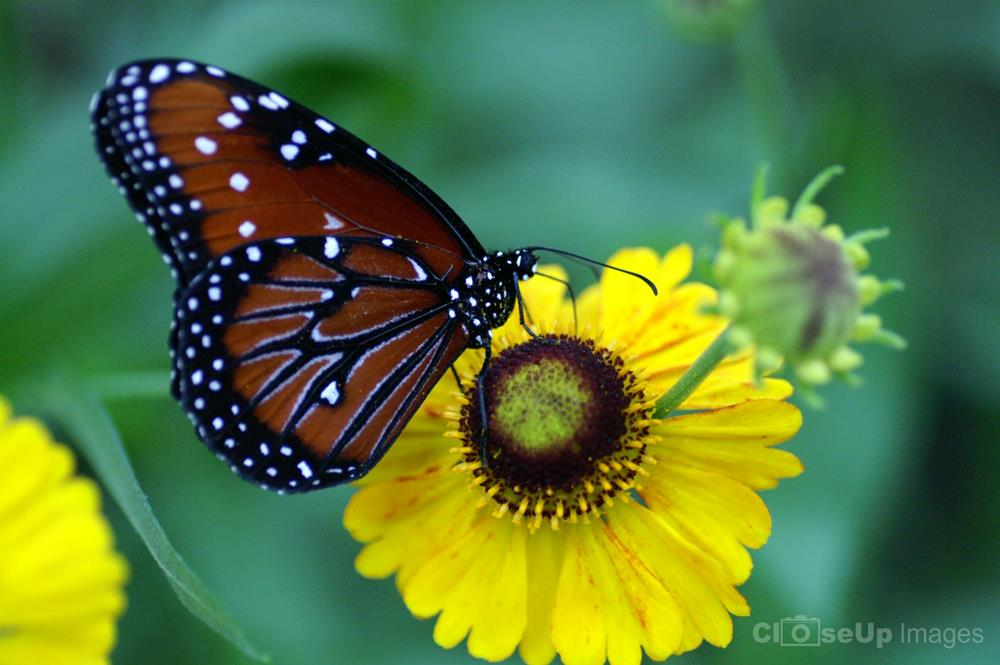 Queen Butterfly on Yellow Flower. CloseUp Images