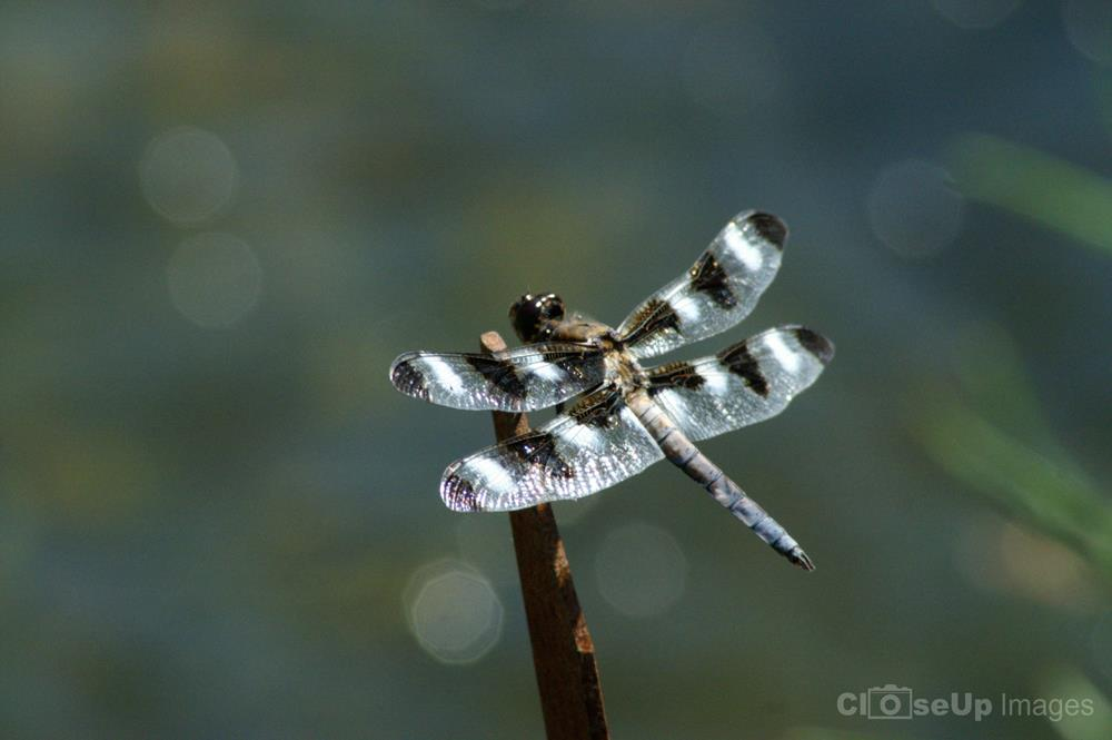 Twelve Spotted Skimmer Mature Male. Photo by CloseUp Images