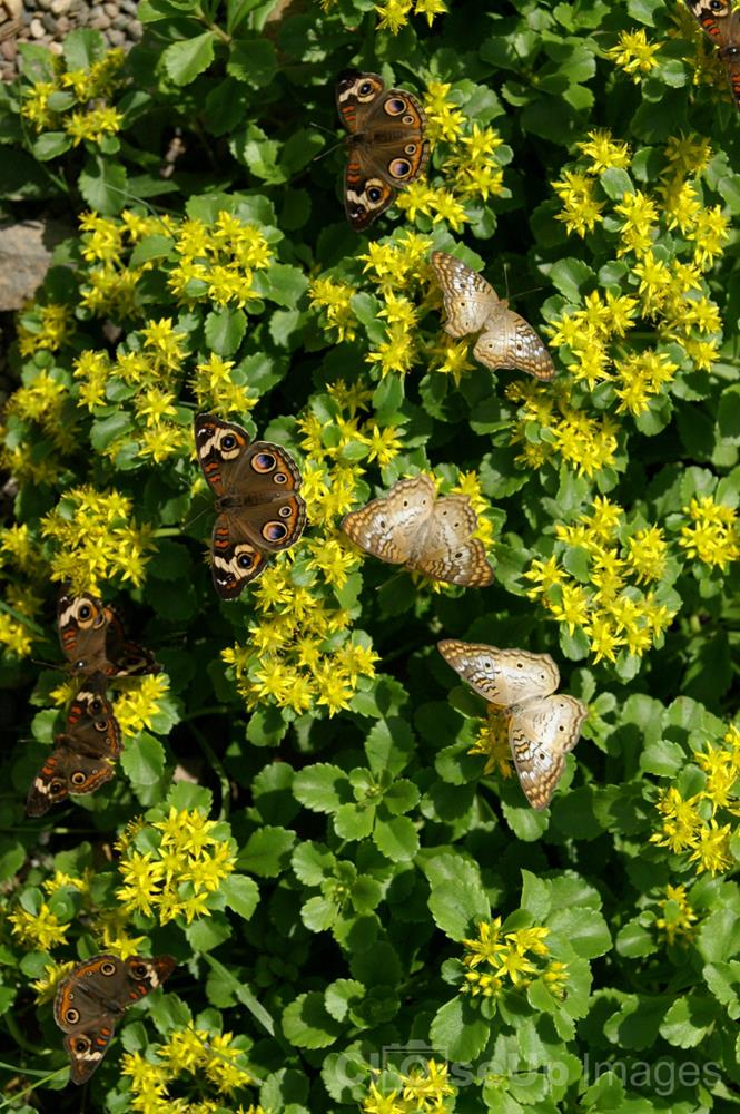 Buckeye Butterflies by CloseUp Images