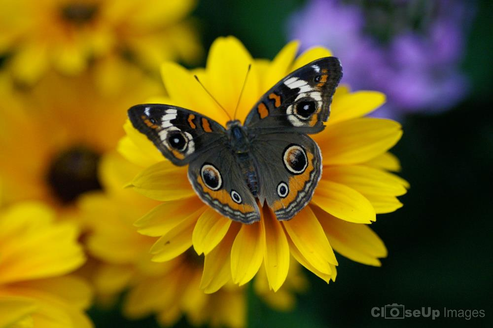 CloseUp Image of Buckeye Butterfly on Yellow Flower by CloseUp Images