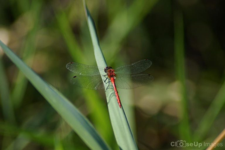 Meadowhawk Dragonfly by CloseUp Images