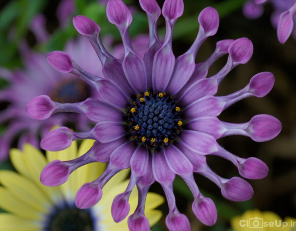 CloseUp Image of a Purple Spoon Mum