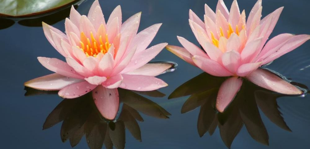 Pair of Pink Water Lilies by CloseUp Images