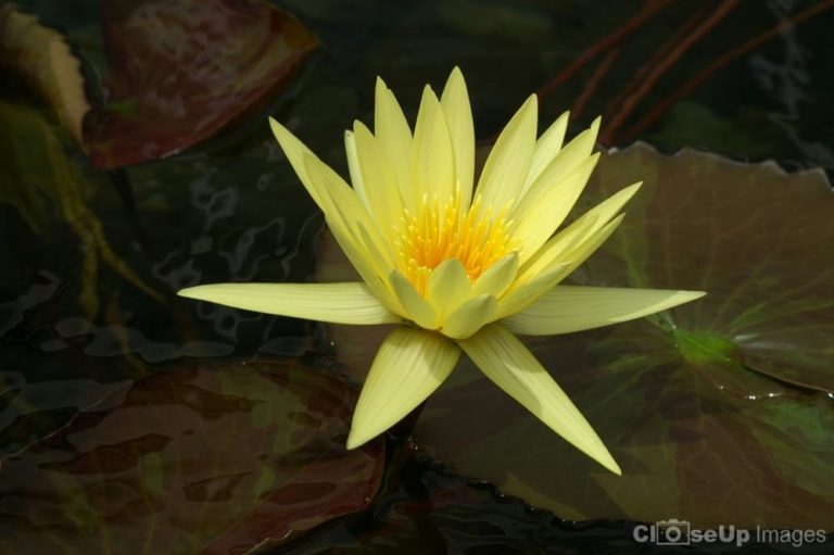 Yellow Water Lily by CloseUp Images