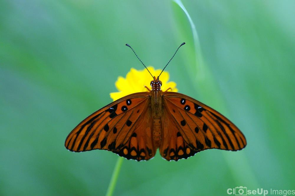 Gulf Fritillary Butterfly by CloseUp Images