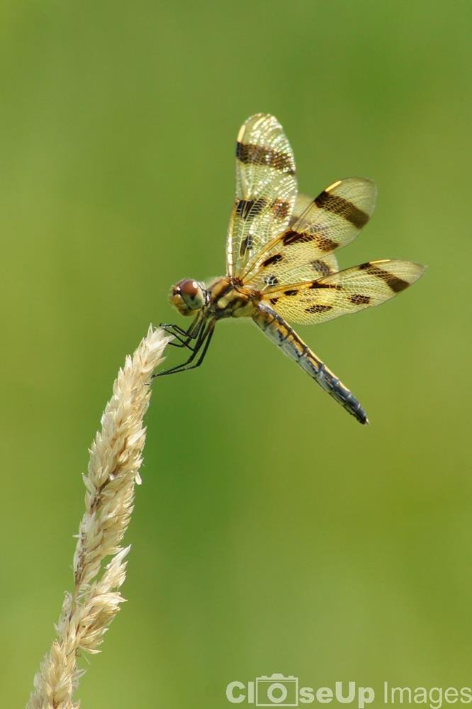 Halloween Pennant Dragonfly Female. Photo by CloseUp Images