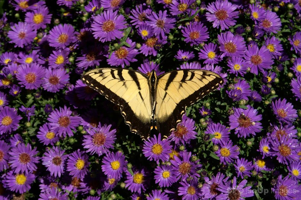 Purple Mums and Tiger Swallowtail taken by CloseUp Images