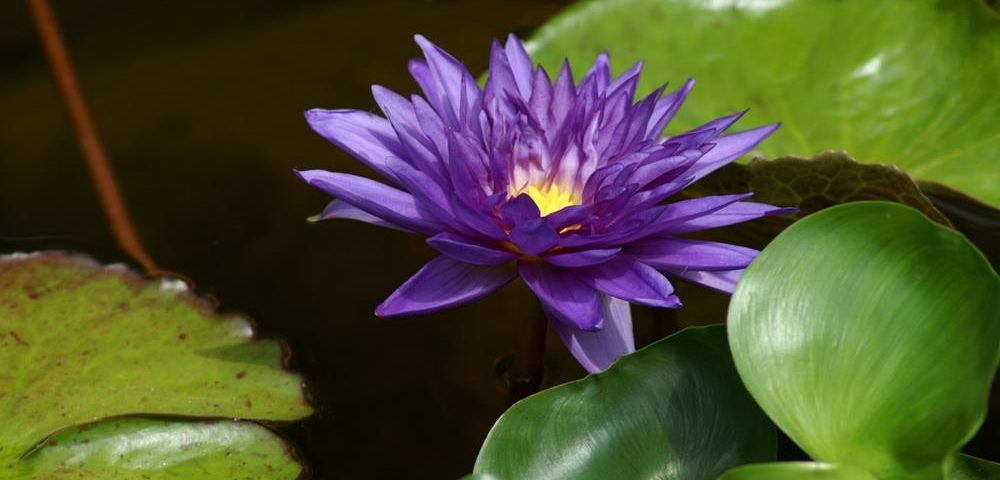 Purple Water Lily taken by CloseUp Images