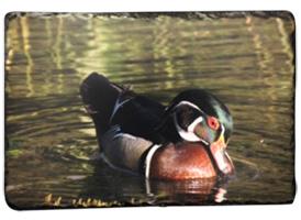 Slate Wood Duck